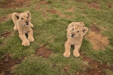 Lion cubs relaxing on grass