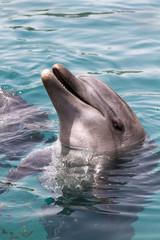 Black sea bottlenosed dolphin portrait