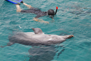 Bottlenosed dolphin and diver