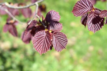 листья лещины обыкновенной буро - красной в лучах весеннего солнца