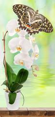 papillon posé sur orchidée blanche
