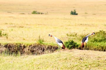 Two royal cranes turning their backs in the savannah of Masai Mara Park in Kenya