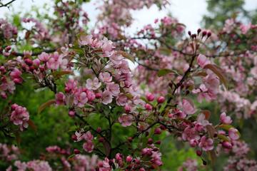 Beautiful cherry blossom closeup