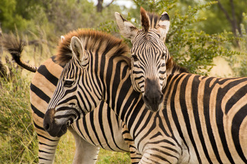 Two zebras standing with their necks crossed close-up of social behavior