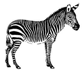 Bergzebra-Equus-Zebra-vintage