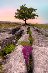 Poster Lichtroze Lone tree and Limestone pavement in Yorkshire Dales