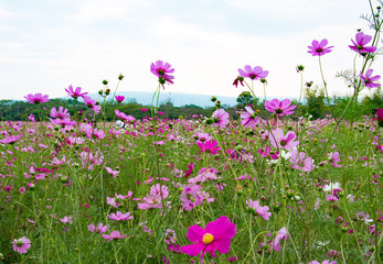 Pink cosmos in the park among a beautiful day. There are mountains being far at the background