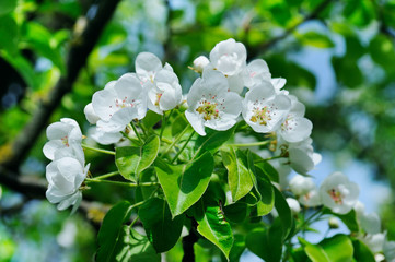 Flowering branch of pear blooming spring garden. Flowers pears close-up.