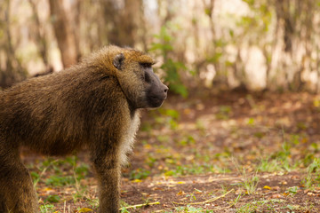 Side view portrait of adult Olive baboon