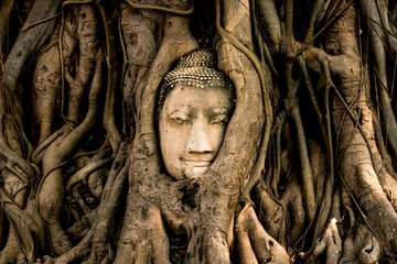 old Buddha statue head in tree at Wat Mahathat ancient temple . landmark of Ayutthaya Thailand .