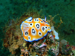 True sea slug