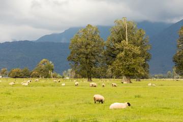 Sheep grazing with green meadow, New Zealand farm animal