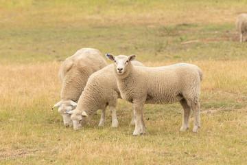 Three baby sheep on dry green glass, farm animal