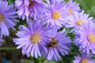 Schwebfliege in Lila Blüte