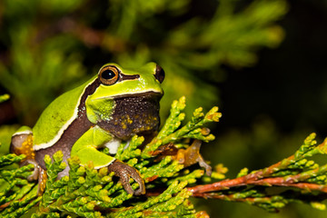 A close up of a Pine Barrens Tree Frog