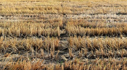 rice stubble in rice field after harves