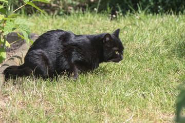 schwarze katze  Black Cat