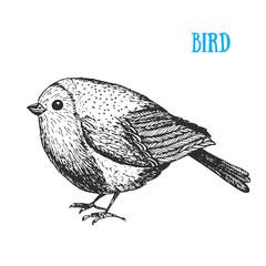 Bird vector illustration. Vintage hand drawn bird . Autumn or winter bird. Engraved style.