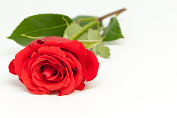 beautiful red rose on white background with copy space love romance valentine's day concept
