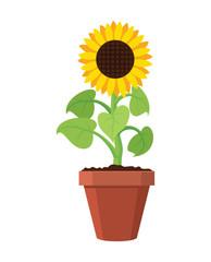 vector cartoon of garden sunflower grow in pot