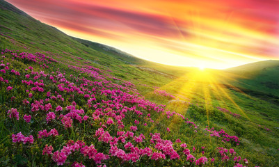 Amazing colorful sundown in mountains with majestic sunlight and pink rhododendron flowers on foreground. Dramatic colorful scene in mountains. Golden sunbeams and clouds under the mountains 壁紙(ウォールミューラル)