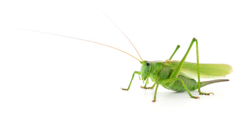 Green locust isolated.