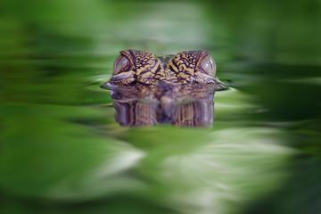 Head of crocodile on the swamp
