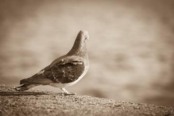 Pigeon bird near sea