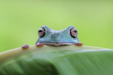 Tree frog, dumpy frog