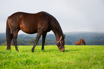Brown horse grazing on pasture, herd of horses in the distance.