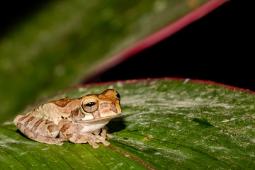 A close up of a Tawney Tree Frog in Costa Rica.