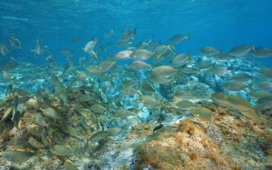 School of fish seabreams Sarpa salpa underwater in the Mediterranean sea, Sicily, Trapani, Italy