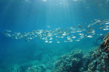 Spain Mediterranean sea underwater a school of fish seabreams salema porgy, Sarpa salpa, Catalonia, Costa Brava