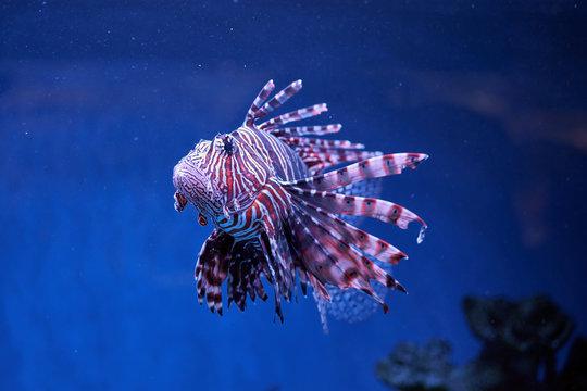 Pterois (lionfish, zebrafish so on) with long venomous fins