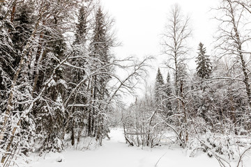 snow-covered forest near The Raudanjoki river, Rovaniemi, Finland.