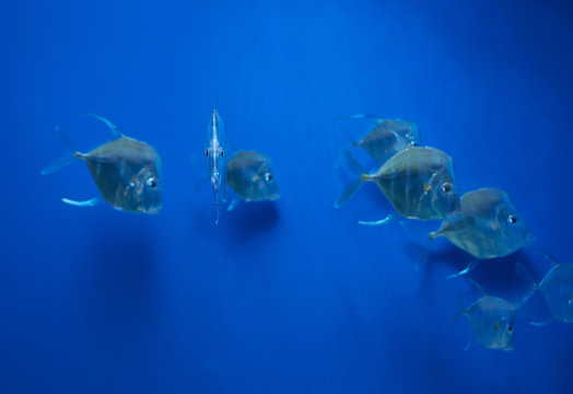 a game fish lookdown (Selene vomer)