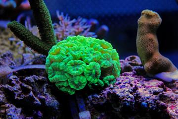 Caulastrea curvata LPS coral
