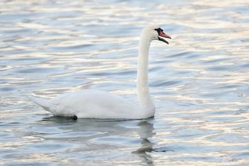 Mute swan swim with an open beak