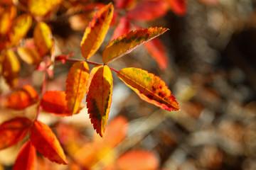 Wild Rose Bush in Autumn