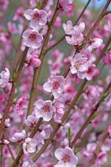Blühender Pfirsichbaum, Malum Persicum