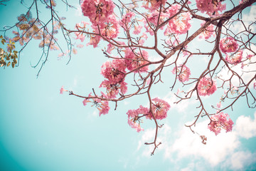Wall Mural - Beautiful sakura flower (cherry blossom) in spring. sakura tree flower on blue sky. vintage color tone