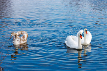 White swans family on the water surface of the river