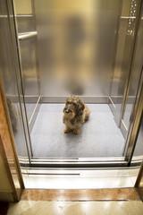 Cane bassotto in ascensore