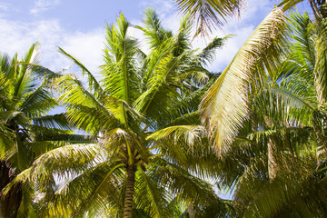 young coconut palms upon the blue sky