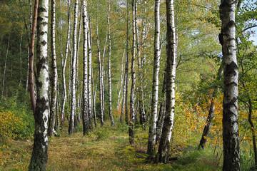 Herbstlicher Birkenwald