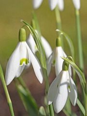 Schneeglöckchen, Galanthus, Frühling