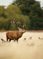 Red deer stag standing in the grass among a group of hinds
