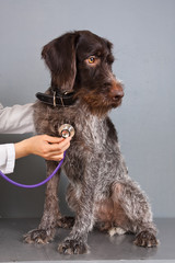 hands of veterinarian examining dog with stethoscope