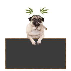 pug puppy dog being high, smoking marijuana weed joint, wearing hemp leaves diadem, hanging on blackboard sign, isolated on white background