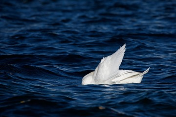 Gentle Mute swan in dark blue water with a raised white wing